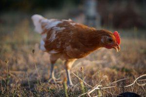 kippen op stadsboerderij