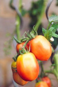 tomaten thuis kweken